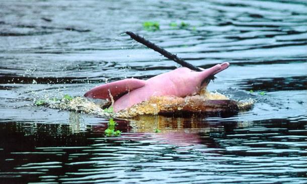 Fuente: Imagen de la Revista Turista Magazine. Delfín rosado de la Reserva Nacional del Pacaya Samiria